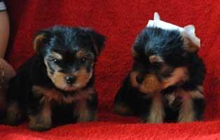 щенки йоркширского терьера, фото щенков