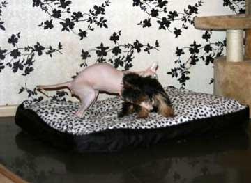 Щенок йоркширского терьера и кошка