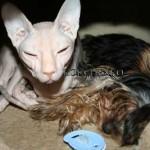 Щенок Йоркширского терьера и кошка…