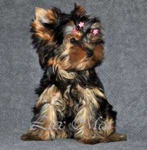 щенок йоркширского терьера, фото красивого щенка