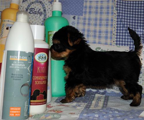 Йоркширский терьер, шампунь для мытья