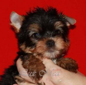 puppi_yorkshire щенок йоркширского терьера