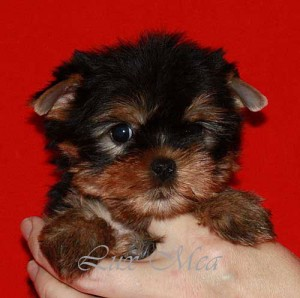 puppiyorkshirterrier  щенок йоркширского терьера мини
