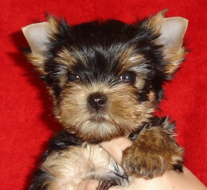 puppy-terrier-york