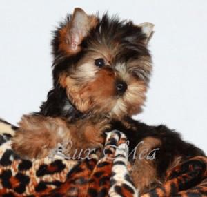 puppy-yorkterrier
