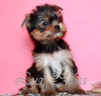 терьер йоркширский фото щенка