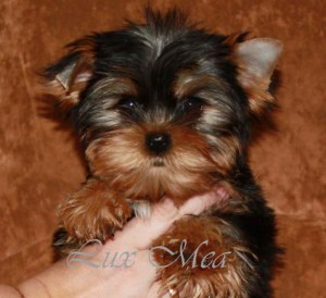 puppy_york_nik щенок йоркширского терьера