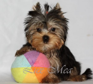 фотография щенка йоркширского терьера