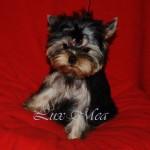 Продается щенок йоркширского терьера — Продан