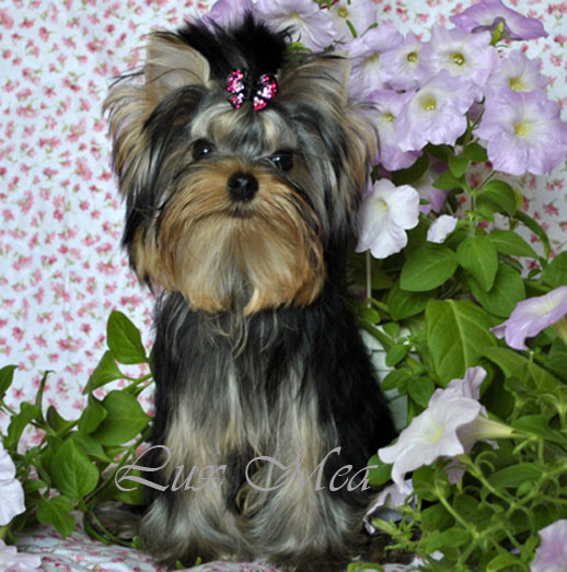 фото щенок йоркширского терьера