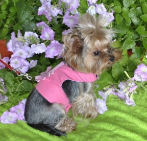 Фото йорка , на котором одета красивая жилетка-поводок