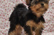 Информация по щенкам на 09.12.11