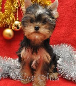 Йоркширский терьер щенок Вилли