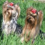 Инструктор по вязке собак миниатюрных пород