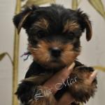Щенки йоркширского терьера — статус продажи на 12 марта 2012