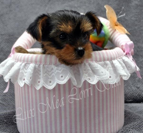 щенок йоркширского терьера купить питомник недорого