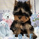 В питомнике продаются щенки йоркширского терьера — 25.02.2013