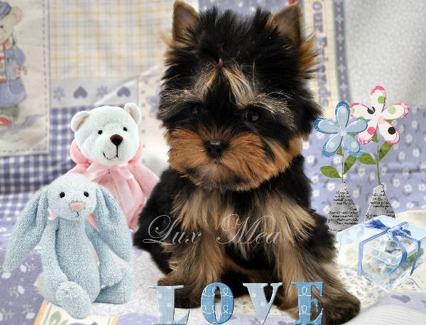 shenok-yorkshire-terrier-prodaensja