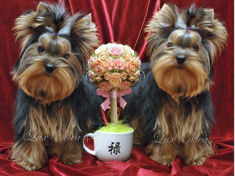 pitomnik-yorkshire-terrier-spb-shenok-prodazha-bebi-feis