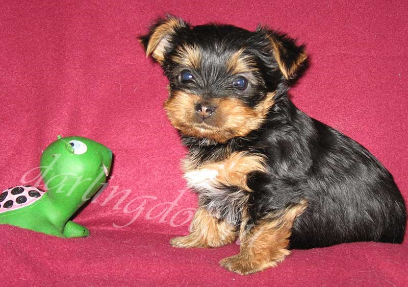 щенок йоркширского терьера с игрушкой