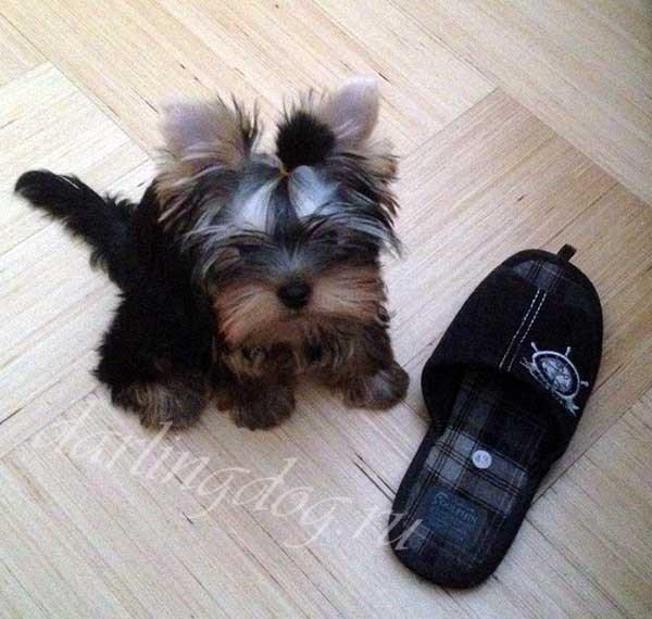 йоркширский терьер щенок с тапком