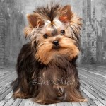 В питомнике можно купить мини щенка йоркширского терьера