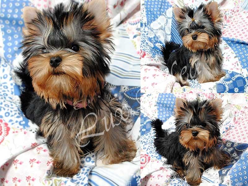 щенок йорка красивая девочка София