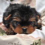 Купить щенка йоркширского терьера мини в питомнике СПб