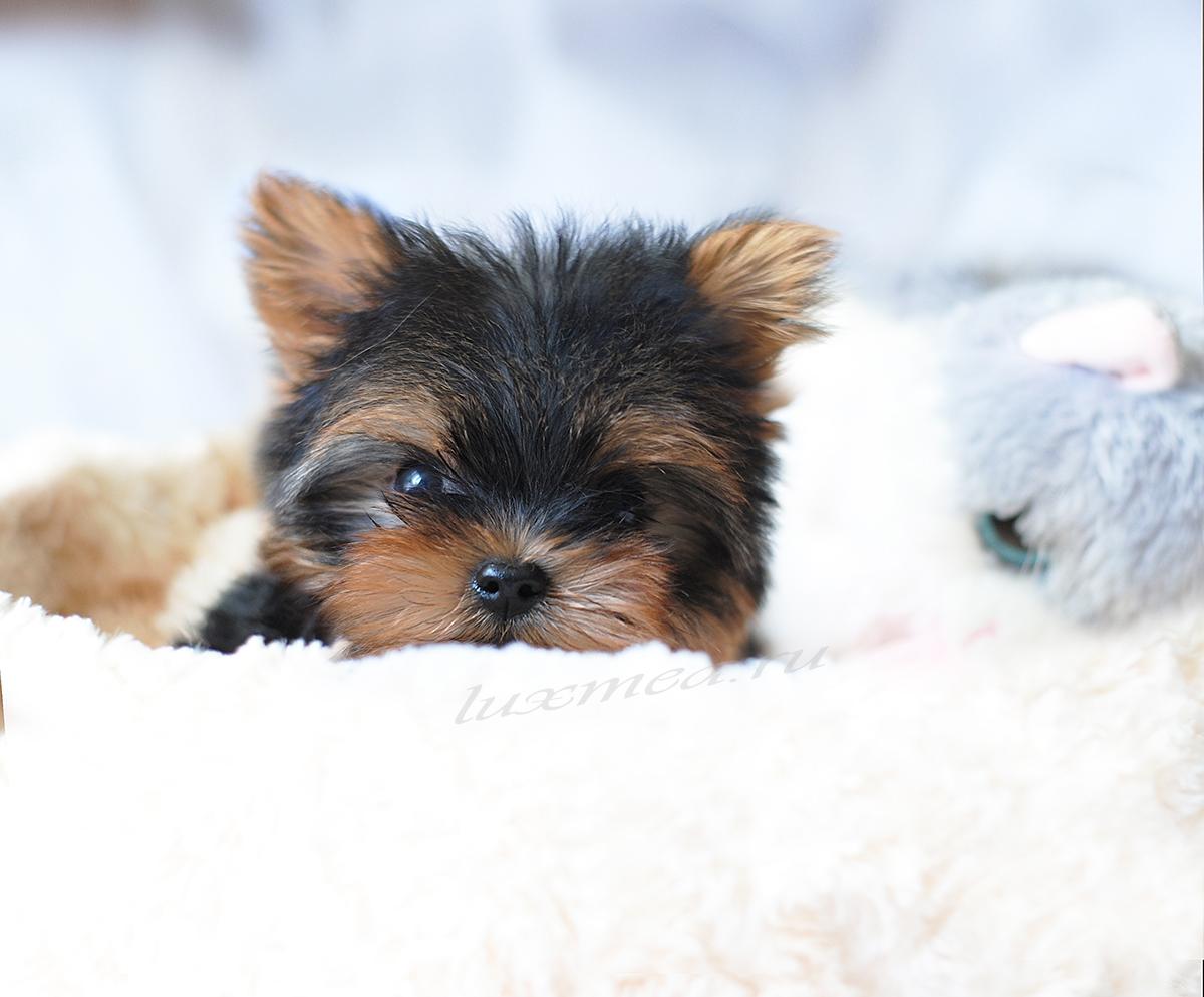 щенок йоркширского етрьера мальчик Эмиль